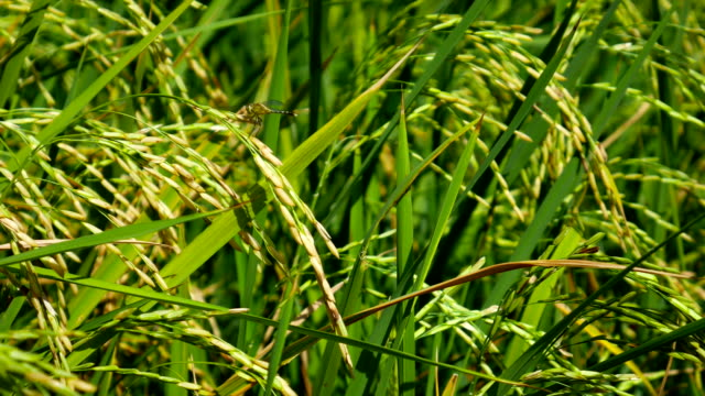 Nahaufnahme von Green Paddy Rice Plant Sway gegen Wind.