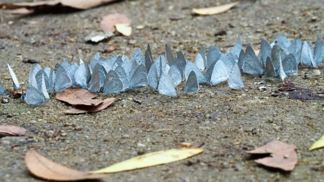 close up of group of holly blue butterflies feeding on the sand - animal antenna stock videos & royalty-free footage