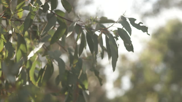 close up of gum trees soft light shining through the leaves, with a gum tree in the background, camera focus in and out from tree to leaves - victoria australia stock videos & royalty-free footage