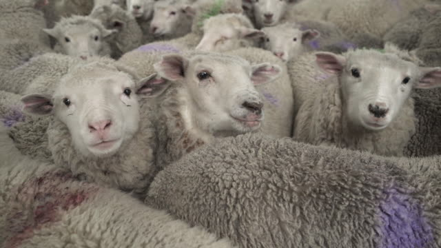close up of herd of merino sheeps standing close at a farm - animal head stock videos & royalty-free footage