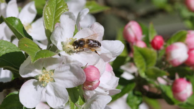 close up of honey bee climbing up petals to get to to the stamen for pollen - stamen stock videos & royalty-free footage