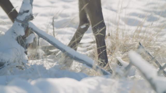 close up of hooves walking through snow - vaja bildbanksvideor och videomaterial från bakom kulisserna