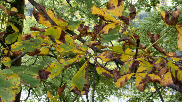 Close up of horse chestnut leaves in autumn