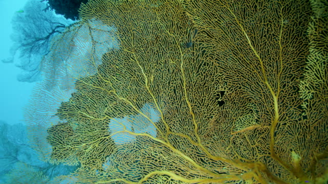 close up of huge gorgonian coral fan - gorgonian coral stock videos & royalty-free footage