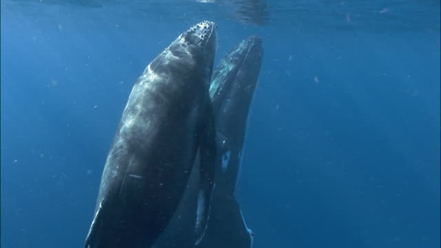 close up of humpback whale (megaptera novaeangliae) calf swimming alongside mother / zoom out to view of calf and mother floating under surface of water / tonga, south pacific - whale stock videos & royalty-free footage