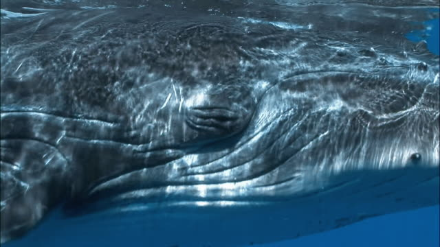 close up of humpback whale (megaptera novaeangliae) sleeping / tonga, south pacific - buckelwal stock-videos und b-roll-filmmaterial