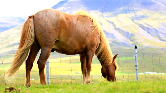 Close up of Icelandic horses grazing on a pasture