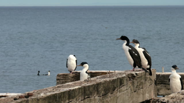 Close up of Imperial shags over an old pier