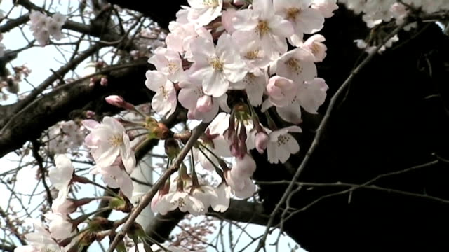 close up of japanese cherry blossoms - anamorphic stock videos & royalty-free footage