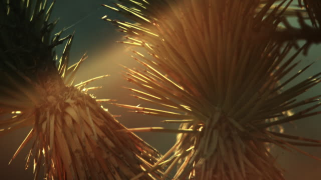 close up of joshua tree needles during sunset - joshua tree stock videos & royalty-free footage