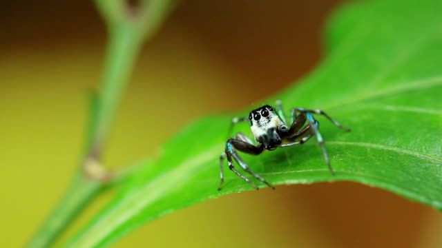 close up of jumper spider - animal colour stock videos & royalty-free footage