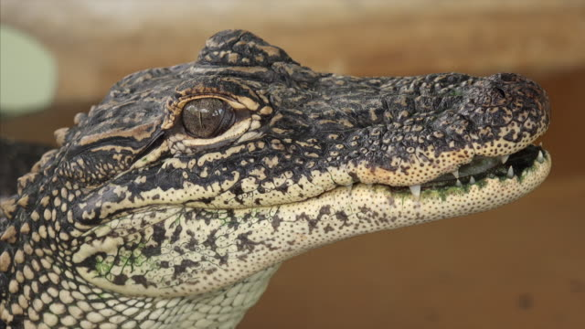 close up of juvenile alligator face - animal eye stock videos & royalty-free footage