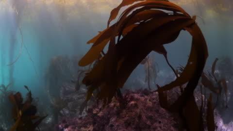 vídeos y material grabado en eventos de stock de close up of kelps growing along with coral reef underwater - carmel by the sea, california - kelp