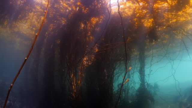 close up of kelps growing undersea - carmel by the sea, california - carmel california stock videos & royalty-free footage