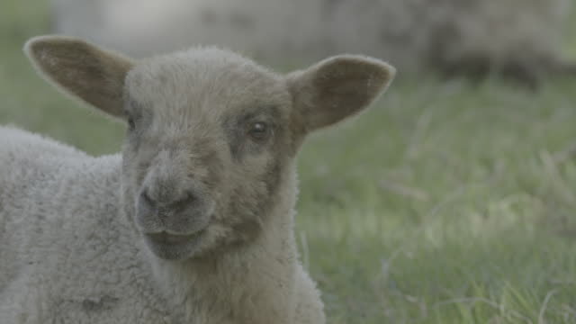 close up of lamb grazing in a field - cute stock videos & royalty-free footage