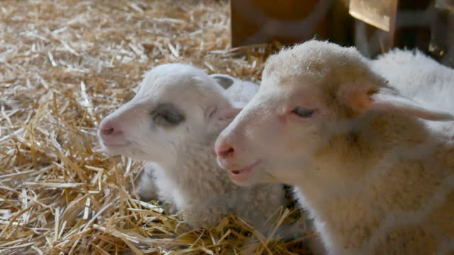 close up of lambs head chewing, sheep on meadow, field, farming - lamb animal stock videos and b-roll footage