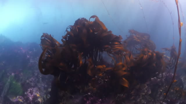 close up of laminariales growing along with coral reef underwater - carmel by the sea, california - kelp stock-videos und b-roll-filmmaterial