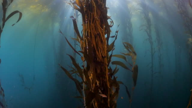 vídeos y material grabado en eventos de stock de close up of laminariales leaves growing in blue sea, sunlight streaming through kelps floating on ocean surface - carmel by the sea, california - quelpo