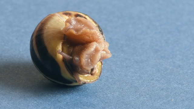 Close up of land snail turning its shell. Beauty and details of a natural process