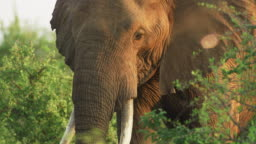 Close up of Large Bull Elephant with Tusks at Sunrise. Threatened species, poaching and Safari Concepts. Tusker African Tourism.