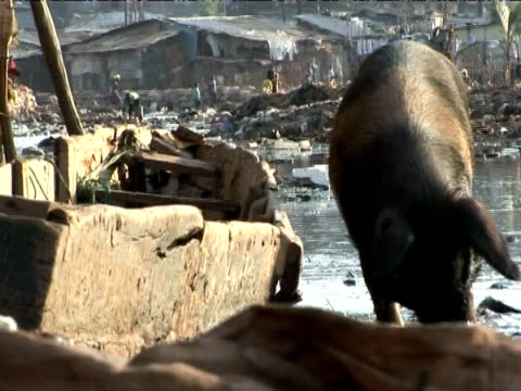 close up of large pig foraging through polluted river, kroo bay, sierra leone, west africa - littering stock videos & royalty-free footage