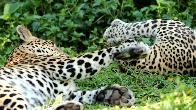 vídeos y material grabado en eventos de stock de cerca de leopardo jugando juntos, lenta - felino grande