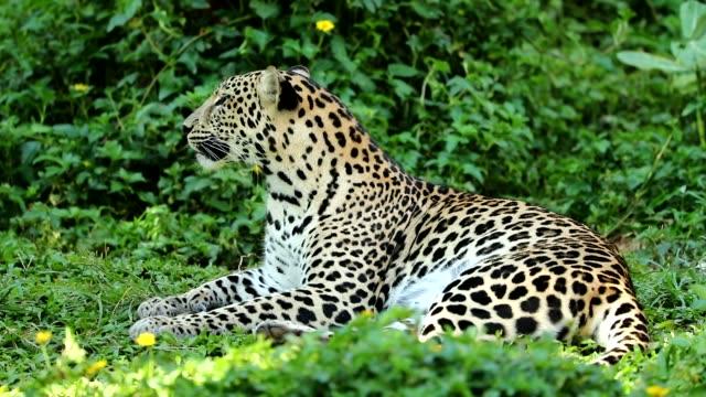 nahaufnahme eines leoparden ruht, slow-motion - westbengalen stock-videos und b-roll-filmmaterial
