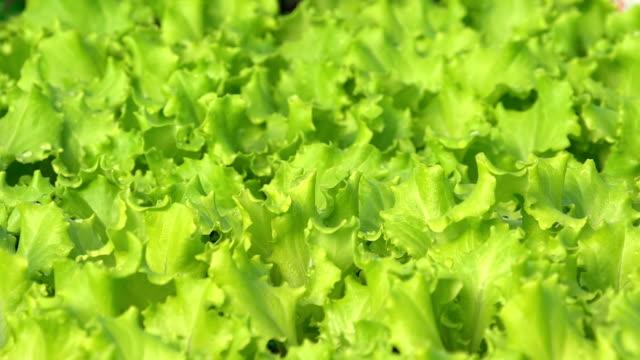 vídeos de stock, filmes e b-roll de hd dolly: close-up de alface no jardim - processo vegetal