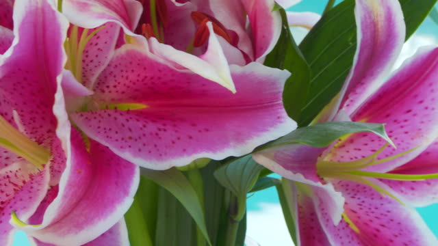 close up of lily, stargazer flower - stargazer lily stock videos & royalty-free footage