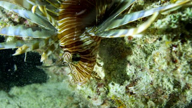 vídeos y material grabado en eventos de stock de close up of lion fish swimming vertically next to reef, lunges at prey - rascacio