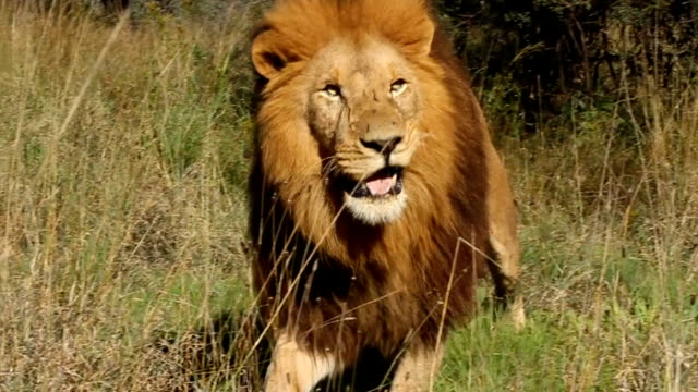 close up of lion walking and chewing/ south africa - animale maschio video stock e b–roll