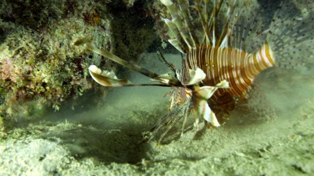 vídeos y material grabado en eventos de stock de close up of lionfish lunging at prey under reef - rascacio