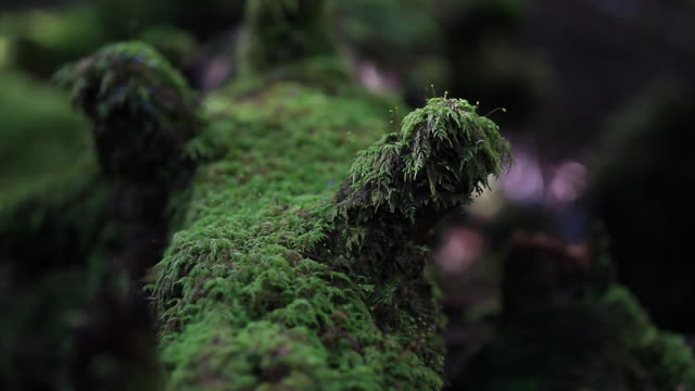Close up of little tree stump covered with green moss in thick forest