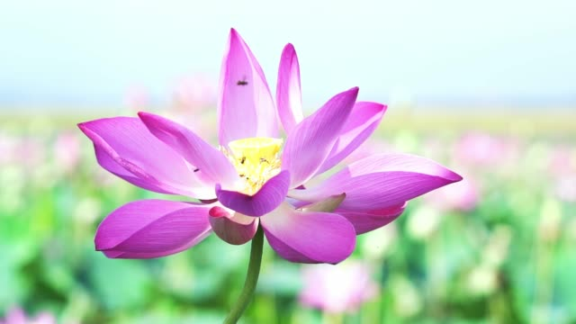 close up of lotus flowers blooming in a sunny lake - zen like stock videos & royalty-free footage