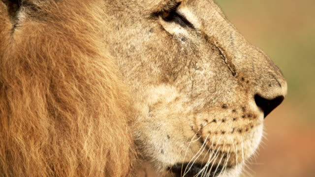 close up of male lion profile - animal head stock videos & royalty-free footage