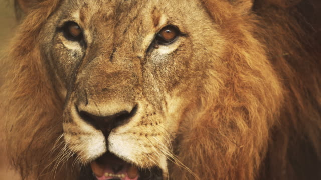 close up of male lion's face - lion stock videos & royalty-free footage