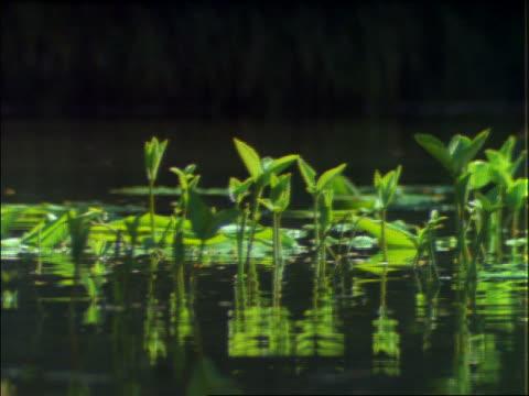 close up of mallard ducks swimming thru water plants - mallard stock videos and b-roll footage