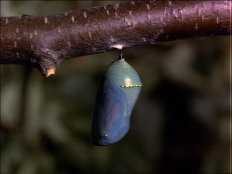 vidéos et rushes de close up of monarch butterfly in chrysalis stage - cocon