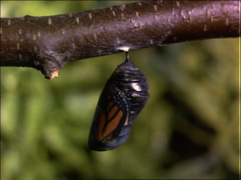 close up of monarch butterfly in chrysalis stage - kokon stock-videos und b-roll-filmmaterial
