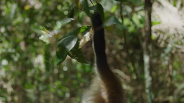 close up of monkey climbing tree branch / grand etang national park, grenada - tail stock videos & royalty-free footage