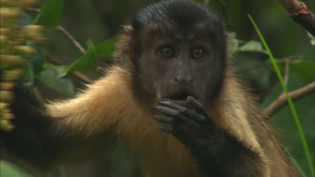 close up of monkey eating fruit on amazon rainforest - south america stock videos & royalty-free footage
