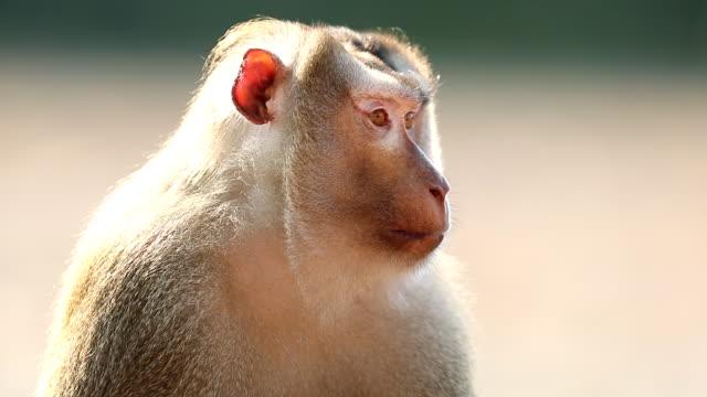 vidéos et rushes de gros plan du singe dans l'herbe au parc national de khao yai, slow motion - partie du corps d'un animal