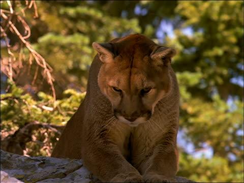 vídeos y material grabado en eventos de stock de close up of mountain lion looking down + growling - puma