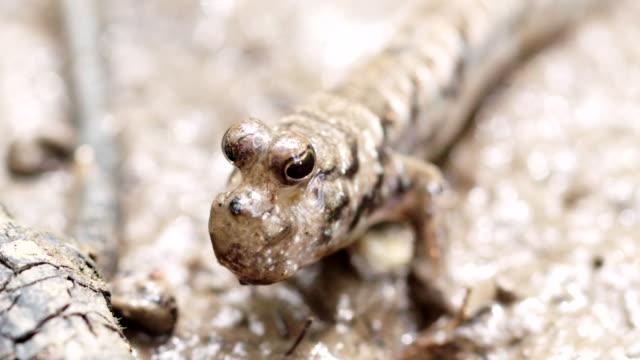 close up of mudskipper head - mudskipper stock videos and b-roll footage