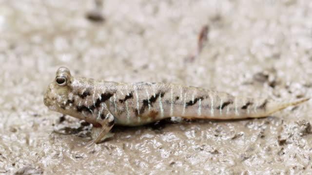 close up of mudskipper on mud - mudskipper stock videos and b-roll footage