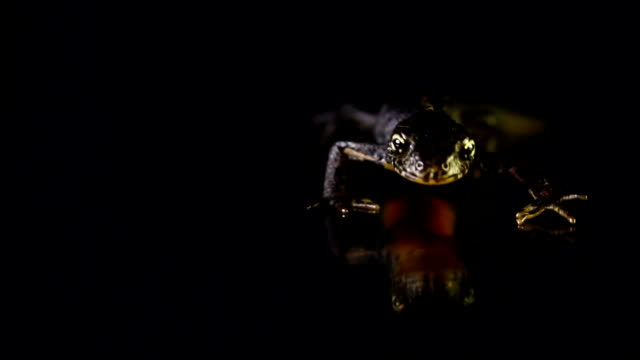 close up of newt on black like a dinosaur - salamander stock videos and b-roll footage