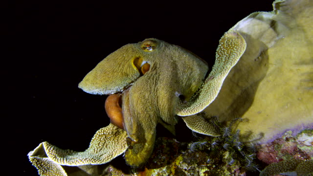 close up of octopus camouflaged and clinging to yellow coral - tarnung stock-videos und b-roll-filmmaterial