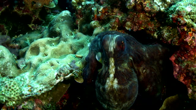 close up of octopus camouflaged on coral reef - disguise stock videos & royalty-free footage