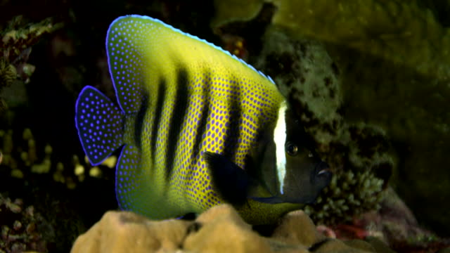close up of of butterflyfish swimming amongst coral - butterflyfish stock videos & royalty-free footage