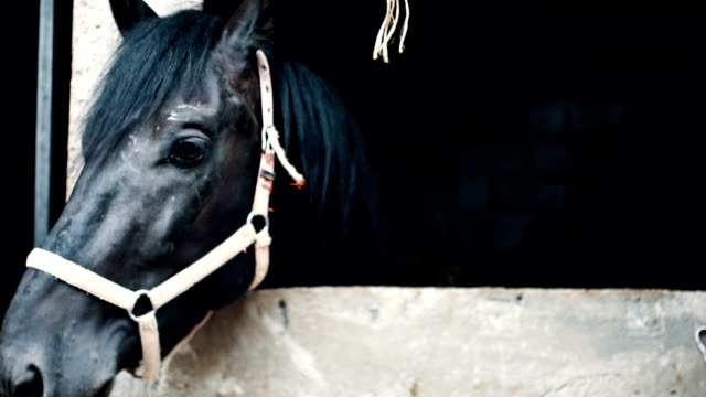 Close up of old black horse